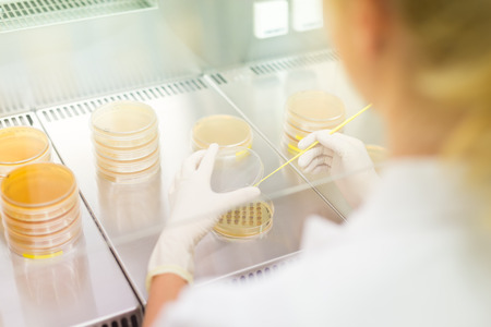 health care research: Female scientist researching in laboratory, pipetting cell culture samples on LB agar medium in laminar flow. Life science professional grafting bacteria in the petri dishes. Stock Photo