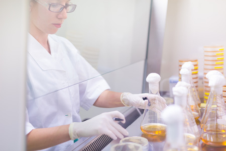 pharmacy technician: Female scientist researching in laboratory, pipetting cell culture samples on LB agar medium in laminar flow. Life science professional grafting bacteria in Erlenmeyer flask. Stock Photo