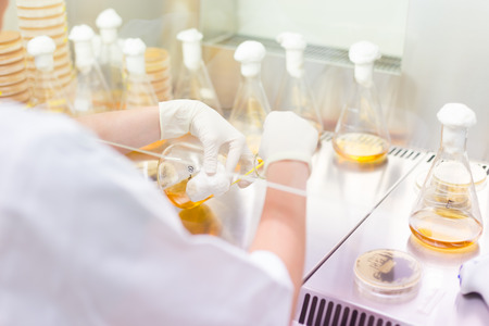 agar: Female scientist researching in laboratory, pipetting cell culture samples on LB agar medium in laminar flow. Life science professional grafting bacteria in the petri dishes. Stock Photo