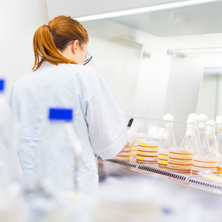 agar: Female scientist researching in laboratory, pipetting cell culture medium samples on LB agar plates in laminar flow. Life science professional grafting bacteria in the petri dishes.