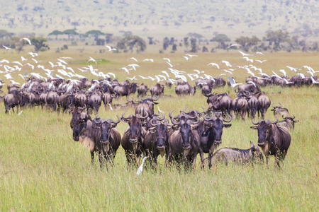 conservation grazing: Connochaetes. Big herd of Wildebeests grazing in Serengeti National Park in Tanzania, East Africa.