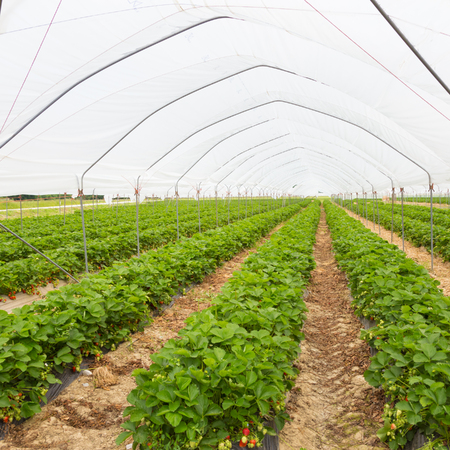 cultivation: The rows of young strawberry plants growing in large plant nursery. All seasons production of fruit and vegetables in the greenhouse.