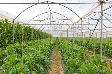 lust: The rows of young bio lust tomatoes growing in large plant nursery. All seasons production of fruit and vegetables in the greenhouse.