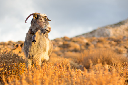 domestic animals: Domestic goat in mountains on Greek Mediterranean island Crete. Dramatic warm light and weather before the sunset.