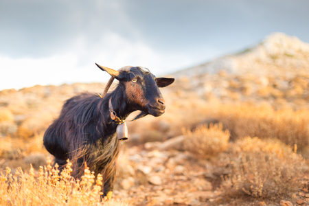 mountain landscape: Domestic goat in mountains on Greek Mediterranean island Crete. Dramatic warm light and weather before the sunset.