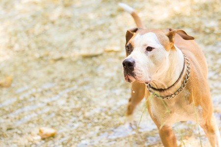american staffordshire terrier: Brown and white American staffordshire terrier dog wearing collar playing in shallow riverbed.