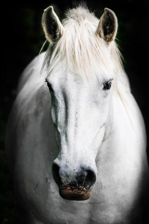 ojos negros: Retrato de un caballo blanco. Foto de archivo