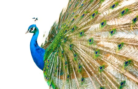 peacock background: Colorful Blue Ribbon Peacock in full feather on white background. Horizontal composition.
