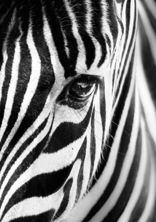 zebra face: Artistic closeup portrait of a zebra. Graphical pattern. Black and white photo. Stock Photo