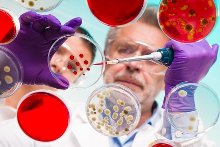 petri: Focused senior life science professional grafting bacteria in the pettri dishes.  Lens focus on the agar plate. Stock Photo