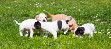 PUPPIES: Mixed-breed adorable cute little puppies playing outdoors on a meadow on a sunny spring day.