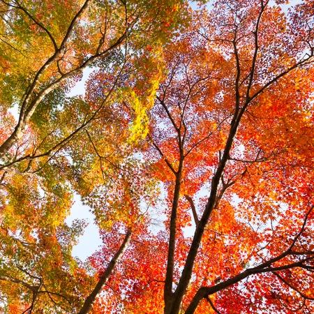 naranja arbol: El c�lido sol de oto�o que brilla a trav�s de colores copas de los �rboles, con el hermoso cielo azul brillante. Plaza de la composici�n.