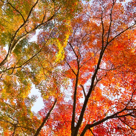 feuille arbre: Le soleil d'automne chaud qui brille � travers la cime des arbres color�s, avec un beau ciel bleu. Composition Square.
