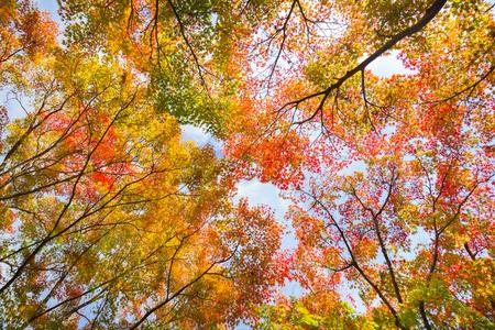 Die warme Herbstsonne durch die bunten Wipfel scheint, mit schönen hellen blauen Himmel.