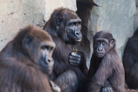 western lowland gorilla: Western lowland gorilla, Gorilla gorilla, group mammals family. Stock Photo