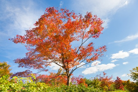 fallen tree: Beautiful red tree in fall with bright blue sky.