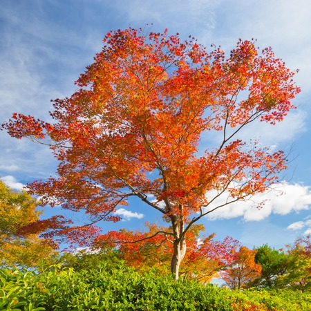 Belle arbre rouge à l'automne avec le ciel bleu lumineux. Banque d'images - 53599761