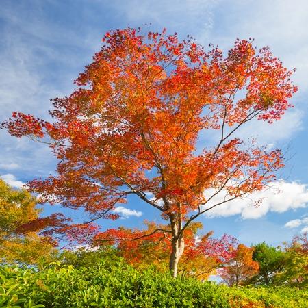 naranja arbol: �rbol rojo hermoso en oto�o con el cielo azul brillante.