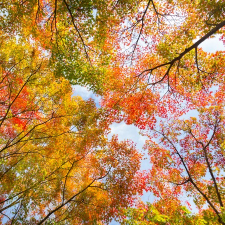 The warm autumn sun shining through colorful treetops, with beautiful bright blue sky. Square composition.