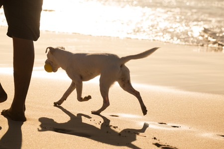 fetch: White dog on beach in summer, following his owner, carrying ball.