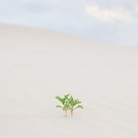 plant life: Two new green plant sprouts in desert sands. New life concept.