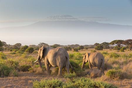 Elephant herd in Amboseli national park in Kenya. Mt. Kilimanjaro in Tanzania can be seen in background. Imagens