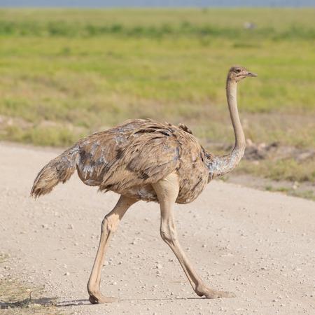 avestruz: Avestruz, Struthio camelus, cruzando el camino de tierra en el parque nacional africano.