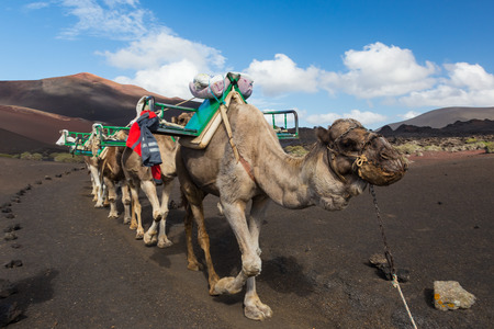 timanfaya: Camel caravan as tourist attraction in Timanfaya National Park.