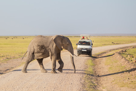 safaris: Tourists in safari jeeps watching and taking photos of big wild elephant crossing dirt roadi in Amboseli national park, Kenya. Stock Photo