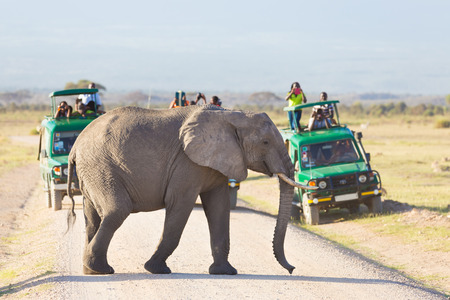 game reserve: Tourists in safari jeeps watching and taking photos of big wild elephant crossing dirt roadi in Amboseli national park, Kenya. Stock Photo