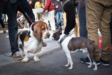 Two cute urban dogs, basset hound and french bulldog, getting to know and greeting each other by sniffing in crowd of people at street event.