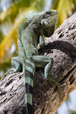 invasive species: Green Iguana lizard, tropical creature, climbing palm tree in caribbean island of Guadeloupe.