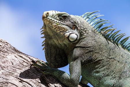 guadeloupe: Green Iguana lizard, tropical creature, climbing palm tree in caribbean island of Guadeloupe.
