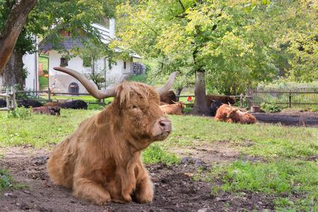highlander: Red haired Scottish highlander cow showing her long horns.