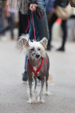 familiaris: Chinese Crested Dog, Canis lupus familiaris, on leash wearing red collar on a city walk. Stock Photo
