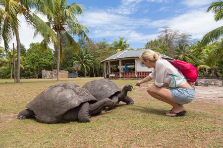gigantea: Female tourist woman feeding and admiring big old Aldabra giant tortoises, Aldabrachelys gigantea, in National Marine Park on Curieuse island, close to Praslin on Seychelles.