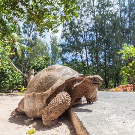 Big old Aldabra giant turtle, Aldabrachelys gigantea, crossing road on La Digue island, Seychelles. Stock Photo