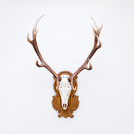 Antlers of a huge stag hanging on white wall.
