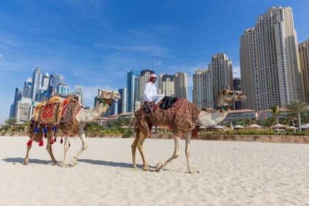 guia de turismo: Dubai, UAE - Janury 31, 2016: La guía turística que ofrece paseo en camello turística en la playa Jumeirah el día 31 del mes de enero de Dubai, Emiratos Árabes Unidos. Lujosos rascacielos de Dubai Marina en el fondo.