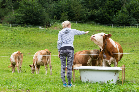 fondling: Active female hiker wearing sporty clothes observing and caressing pasturing cows on mountain meadow, Gorenjska region, Alps, Slovenia.