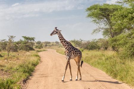 Solitary wild giraffe crossing dirt road. Stock Photo