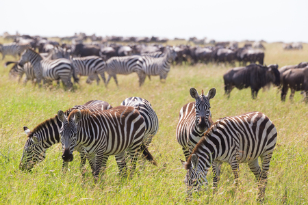 Big herd of Zebras and Wildebeests grazing in Serengeti National Park in Tanzania, East Africa. Equus quaggas and Connochaetes.