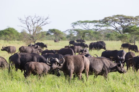 African Buffalo or Cape buffalo, Syncerus caffer, herd in the Ngorongoro Crater national park, Tanzania. Stock Photo