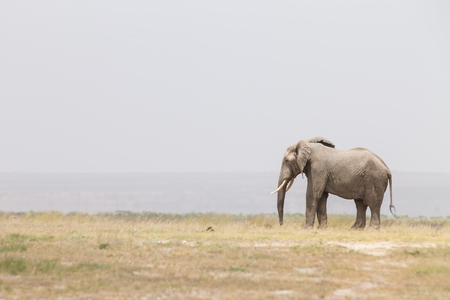 Solitary elephant at Amboseli National Park, formerly Maasai Amboseli Game Reserve, is in Kajiado District, Rift Valley Province in Kenya. The ecosystem that spreads across the Kenya-Tanzania border. Stock Photo