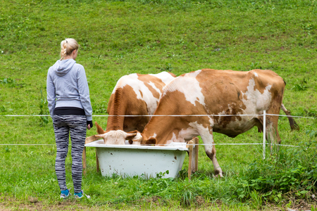 Active female hiker wearing sporty clothes observing and caressing pasturing cows on mountain meadow, Gorenjska region, Alps, Slovenia. Banco de Imagens - 84754335
