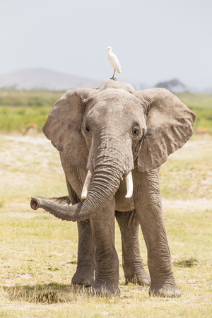 fissure: Solitary elephant at Amboseli National Park, formerly Maasai Amboseli Game Reserve, is in Kajiado District, Rift Valley Province in Kenya. The ecosystem that spreads across the Kenya-Tanzania border. Banque d'images