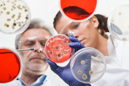 Scientists researching in laboratory, pipetting cell culture samples and serum on LB agar medium. Life science professional grafting bacteria in the petri dishes. Through the glass view. Archivio Fotografico