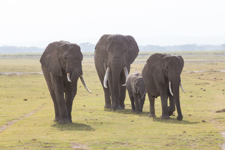 Herd of Elephants at Amboseli National Park, formerly Maasai Amboseli Game Reserve, is in Kajiado District, Rift Valley Province in Kenya. The ecosystem that spreads across the Kenya-Tanzania border.