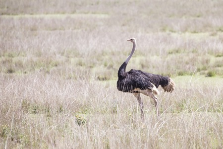 Wild ostrich shot in Ngorongoro wildlife reserve crater, Tanzania. Stock Photo
