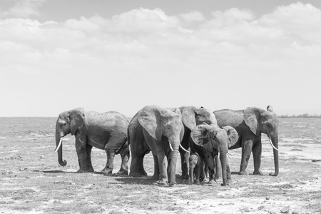 Elephants at Amboseli National Park, formerly Maasai Amboseli Game Reserve, is in Kajiado District, Rift Valley Province in Kenya. Black and white image.
